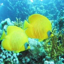 Take great underwater photos, like these butterfly fish in the Red Sea, with Scuba in the Weald!