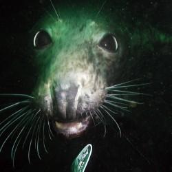 Farne Island Seal taken by Steve Griffiths of Scuba in the Weald