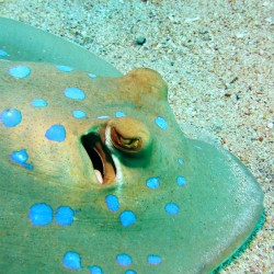 Enjoy stunning species like the blue spotted ray, on a Scuba in the Weald dive trip holiday to the Red Sea!